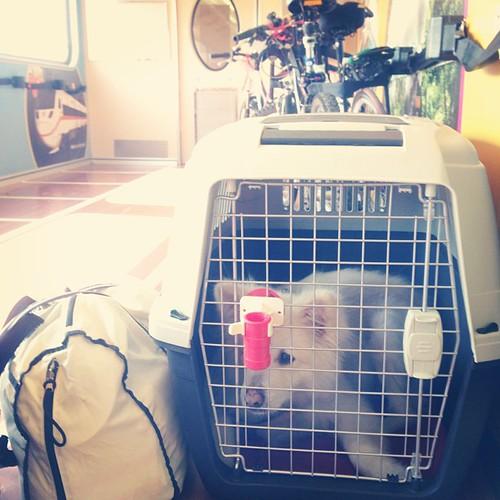 熊寶搭火車 Taking a train #熊寶 #dog #doglife #dogdaily #dogstagram #instadog #train #lunarnewyear #LNY