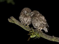 Little Owl chicks (Athene noctua) photo by phil winter