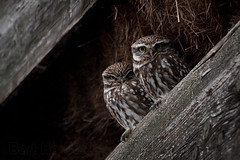 The litle owl found a partner.... photo by Bart Hardorff