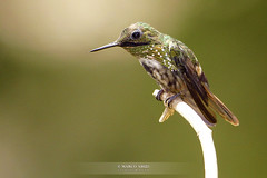 Topetinho Verde/ Festive Coquette (Lophornis chalybeus) photo by Marco Abud