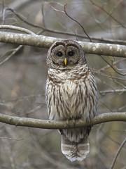 Barred Owl - Strix varia photo by Dave Boltz