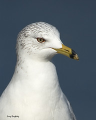 Ring-billed gull portrait image.........D800 photo by Larry Daugherty ~ V. Slow for several days! :-)