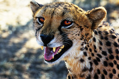 Considering to have a cheetah as a house pet photo by ..illi..