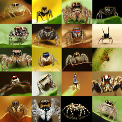 Jumping Spiders Of India(My Collection 1) photo by karthik Nature photography
