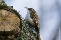Treecreeper enjoying its lunch photo by nicky-mcc