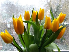 Mothers Day Tulips ... photo by ** Janets Photos **