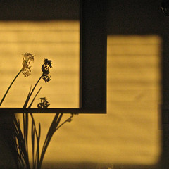 Narcissus Silhouette, Dawn Light photo by my.third.eye