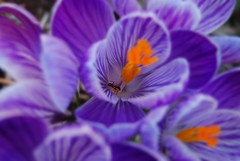 Crocus Creeping photo by Jasmine Golden-Sea