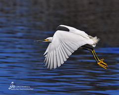 Snowy Egret photo by mtetcher