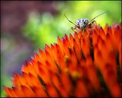 Bug on Orange Bloom photo by Firery Broome