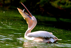 Great white Pelican photo by Arsh_86