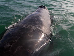 Grey whale back photo by Paul Cottis