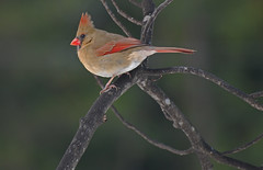 Female cardinal photo by thoeflich
