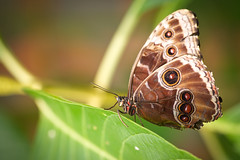 Blue Morpho Butterfly (Morpho peleides) - Explore #89 photo by MAC-Photography.co.uk