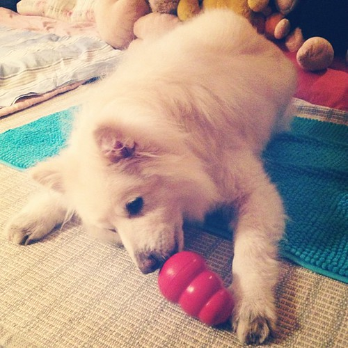 把拔新買的益智玩具 #熊寶 #dog #doglife #dogdaily #dogstagram #instadog #toy