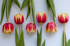 tulips_in_line_II photo by seppi_hofer