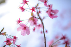 Fading Sakura - D3s & Nikkor 24mm f/1.4G photo by TORO*