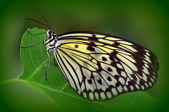 Rice paper butterfly photo by Digisnapper