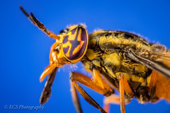Deer Fly (Chrysops striatus) photo by ECS Photography