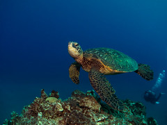 Green Sea Turtle photo by dlanglois2