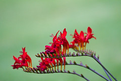 Montbretia in my garden {Explored} photo by Mr Bennett Kent (Back from Mull and back to work!)