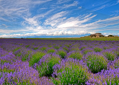 lavender fields forever photo by non stop creations- Sherry Landon