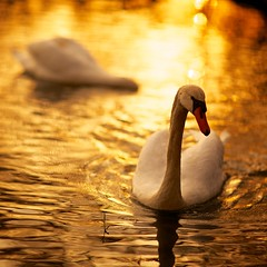 Golden swan photo by generalstussner