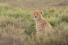 Cheetah cub photo by Wild Dogger