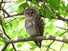 Barred Owl at Bog Garden in Greensboro, North Carolina photo by fazer53