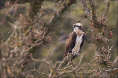 Osprey photo by Ben Locke.
