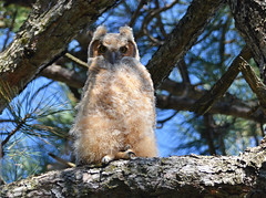 Great Horned Owlet 4/27/13 (Explore) photo by nomoredarkroom