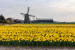 Can you count how many daffodils? Meeting the spring on scale in Holland photo by Maria_Globetrotter (not globetrotting)