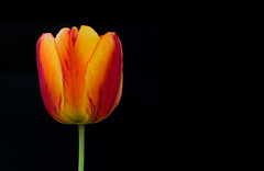 Tulip photo by Jas Bassi