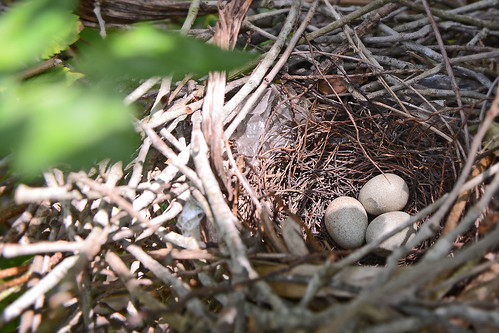 Brown Thrasher Nest