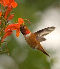 RUFOUS photo by sea25bill