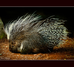 African Crested Porcupine photo by Steve Wilson - over 6 million views Thanks !!