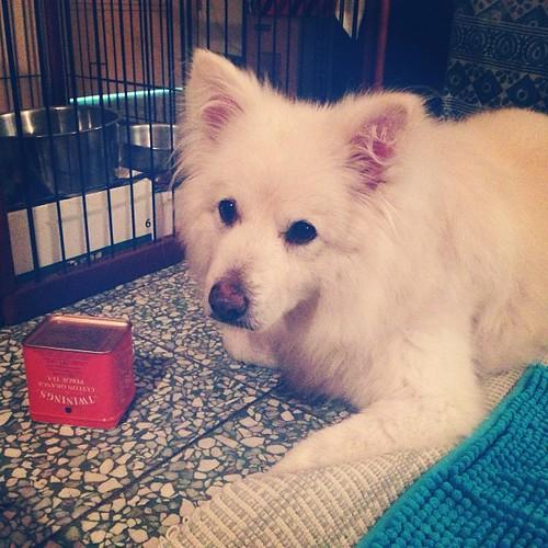 來個益智遊戲動動腦:肉乾在哪?(提示:罐子) Where is the chicken jerky? (hint: tea can) #熊寶 #dog #doglife #dogdaily #dogstagram #instadog