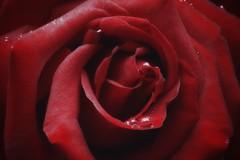 Rosa Rossa - Red Rose photo by Cromatismi3 (Antonio Zaccagnino)