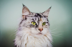 Ziva the Maine Coon photo by Nicholas Erwin