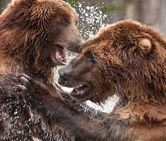 A Grizzly Fight photo by rivadock4