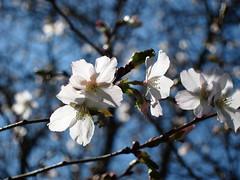 Wiśnia wczesna photo by ela_s