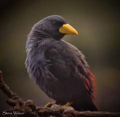 Grosbeak Starling photo by Steve Wilson - over 5 million views Thanks !!