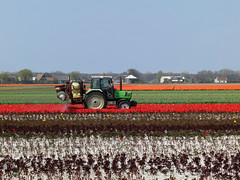 Spraying tulips photo by -hndrk-