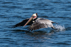 Gliding Brown Pelican photo by MelRoseJ