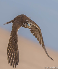 falcon photo by ALJUFAIN KUWAITI