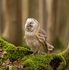 Barn Owl with lunch (Tyto alba) photo by Steven Whitehead