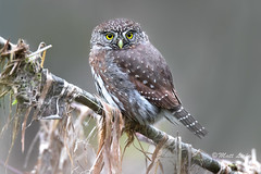 Northern Pygmy-Owl photo by mLichy911