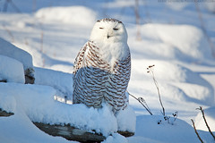 Snowy Owl photo by Eric Gendron Photography