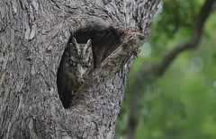 "Eastern Screech Owl (Megascops asio) photo by Gregory ""Slobirdr"" Smith"