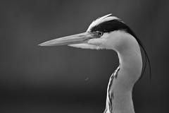 Grey in Mono photo by Matt Cawrey Wildlife Photography